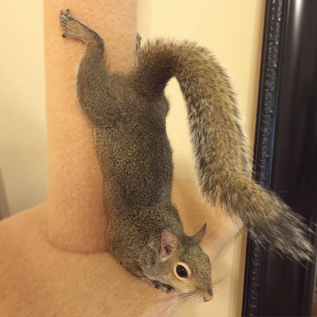 【かわいい動物】保護されたリスちゃんの画像が最高に萌える。【英語ではSquirrel】13.jpg
