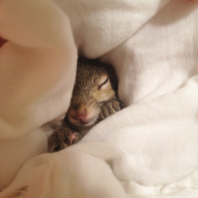 【かわいい動物】保護されたリスちゃんの画像が最高に萌える。【英語ではSquirrel】5.jpg