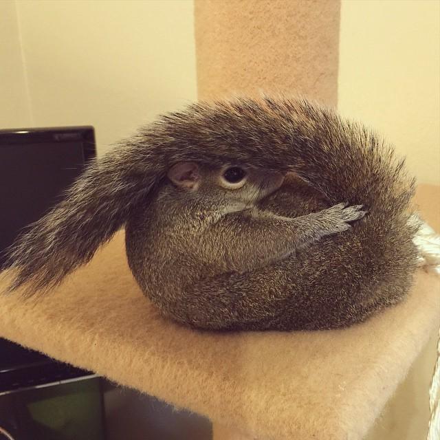 【かわいい動物】保護されたリスちゃんの画像が最高に萌える。【英語ではSquirrel】7.jpg
