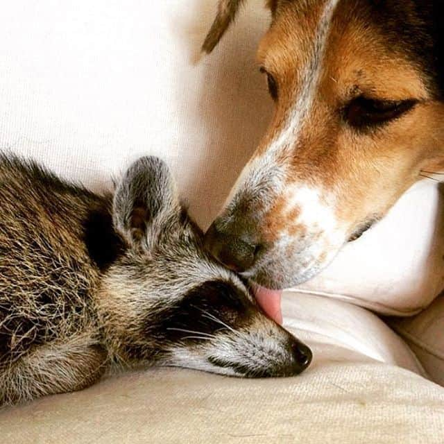 rescued-raccoon-pumpkin-laura-young-1.jpg