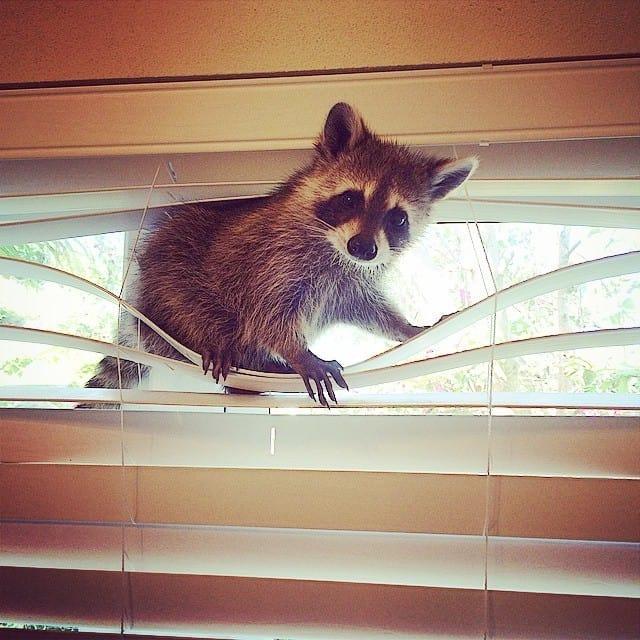 rescued-raccoon-pumpkin-laura-young-11.jpg