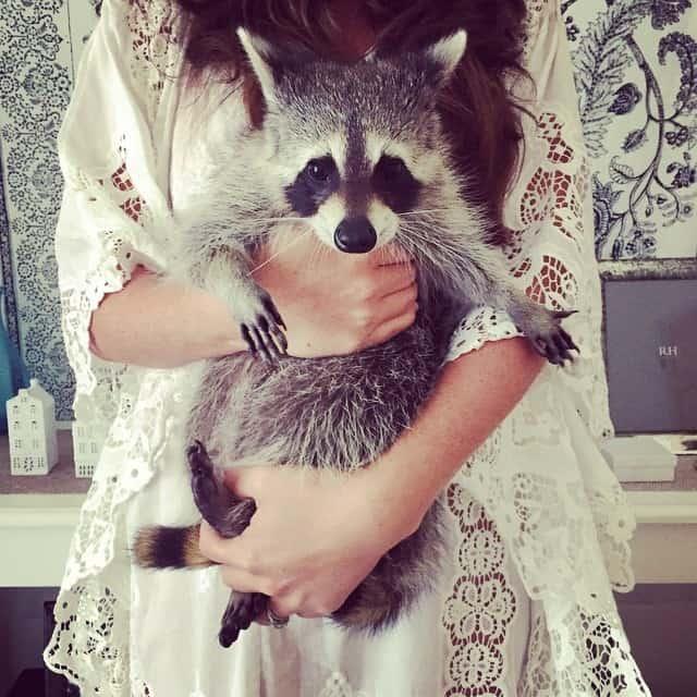 rescued-raccoon-pumpkin-laura-young-14.jpg