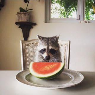 rescued-raccoon-pumpkin-laura-young-20.jpg