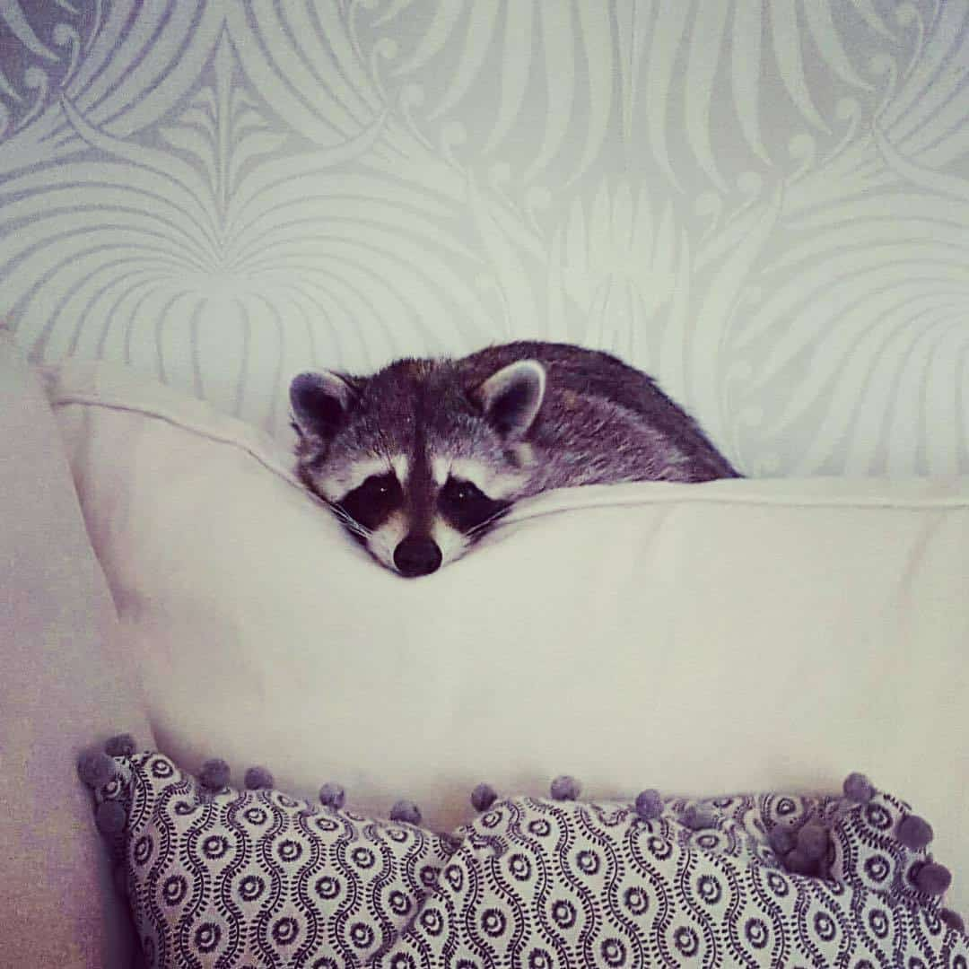 rescued-raccoon-pumpkin-laura-young-22.jpg