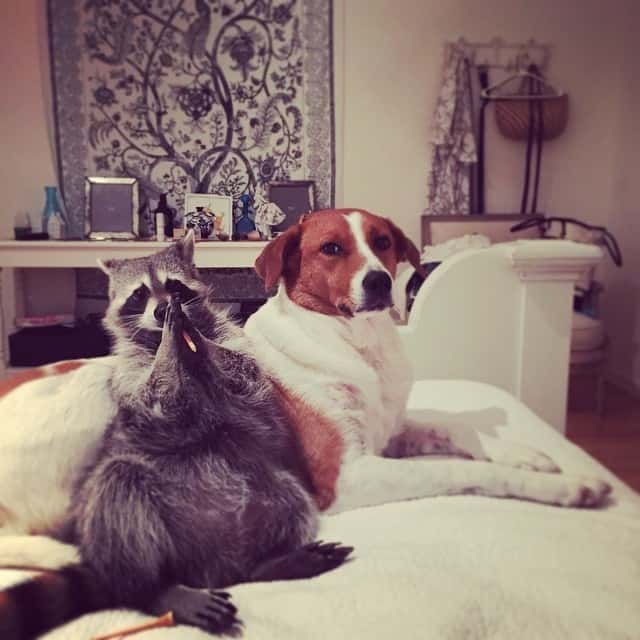 rescued-raccoon-pumpkin-laura-young-24.jpg