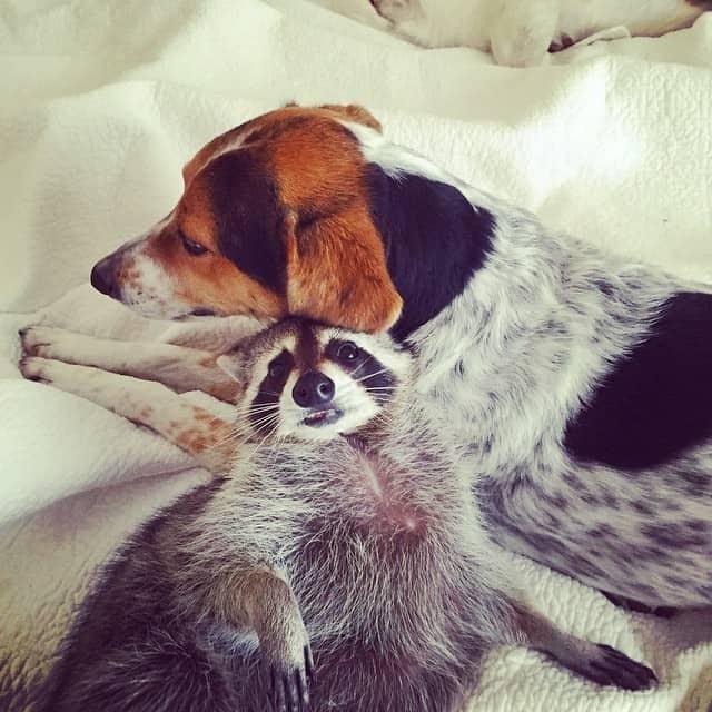 rescued-raccoon-pumpkin-laura-young-30.jpg