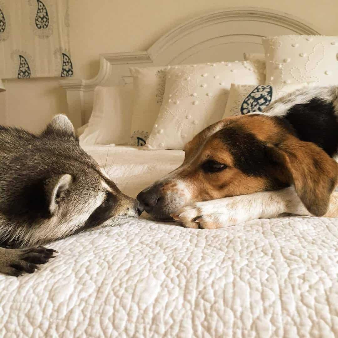 rescued-raccoon-pumpkin-laura-young-32.jpg