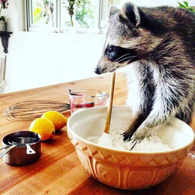 rescued-raccoon-pumpkin-laura-young-36.jpg