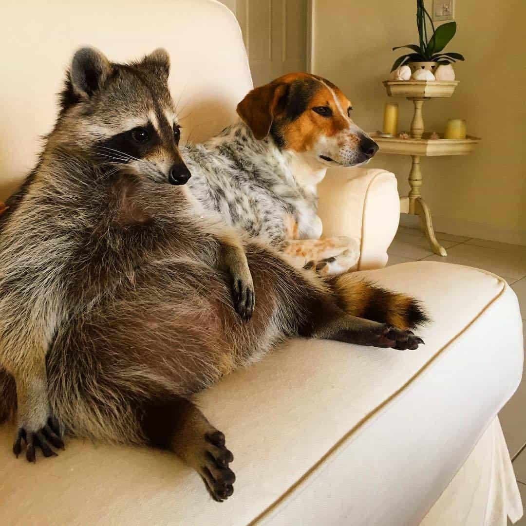 rescued-raccoon-pumpkin-laura-young-4.jpg