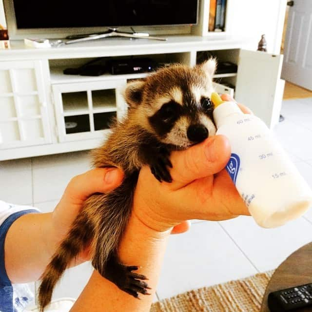 rescued-raccoon-pumpkin-laura-young-45.jpg