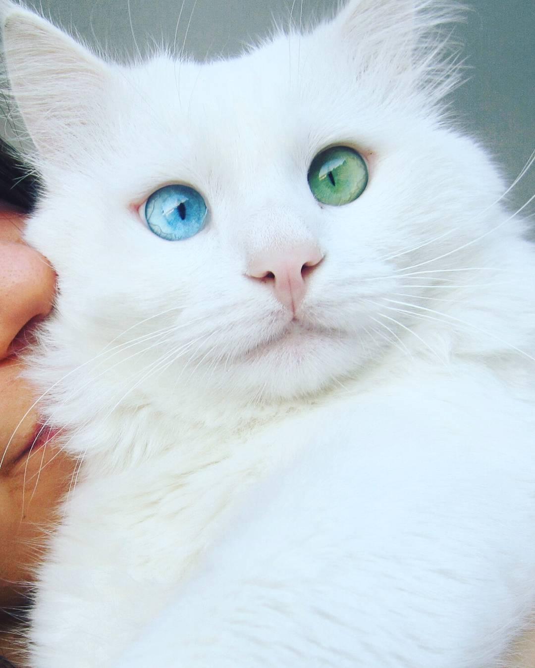可愛い白猫オッドアイ