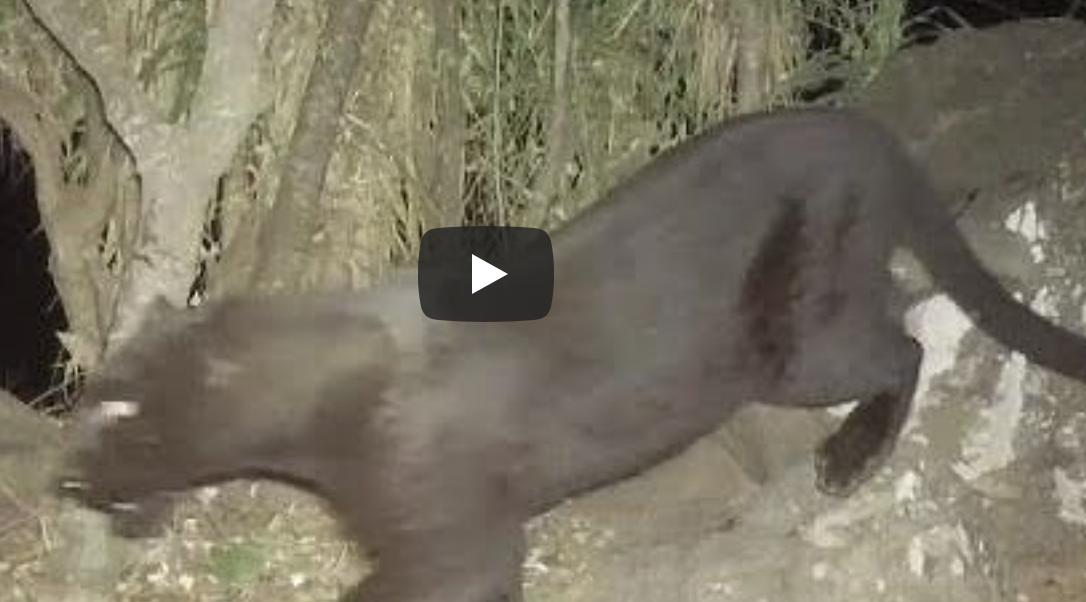 黒ヒョウ 仏アパート 捕獲の徘徊している画像&動画はこちら!!